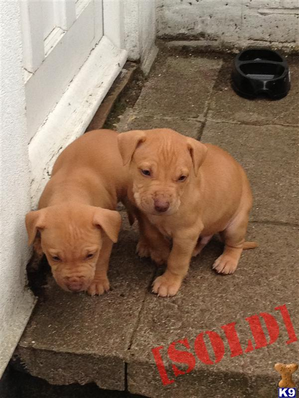 red nose american staffordshire terrier amazing litter of red nose puppies female 1 41829 894