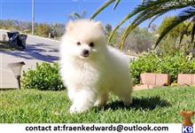 pomeranian puppy posted by 0o5epte