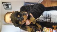rottweiler puppy posted by 123kay123