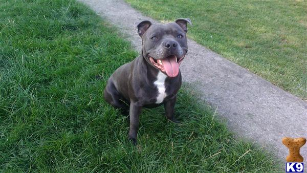 Blue Staffy For Sale : Gorgeous blue staffy pups for sale