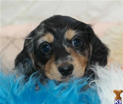 cream long haired dachshund puppies. MINATURE LONG HAIRED DACHSHUND