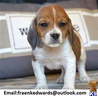 beagle puppy posted by 3mviml4