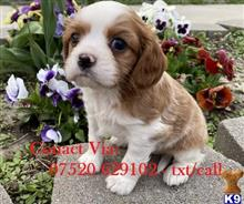 cavalier king charles spaniel puppy posted by 56uyhtjtnjynjty