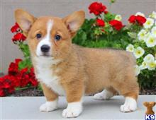 pembroke welsh corgi puppy posted by 7cuptru