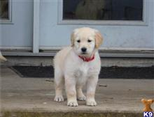 golden retriever puppy posted by 87hy410