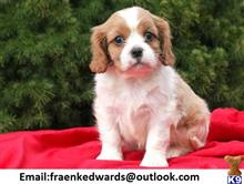 cavalier king charles spaniel puppy posted by 8lh01he