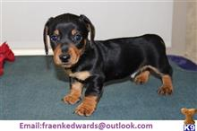 dachshund puppy posted by 8pje91c