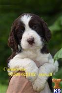 english springer spaniel puppy posted by 90oplujm