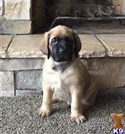 mastiff puppy posted by 9vyef8e