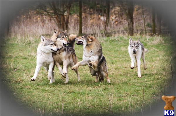 A1 Wolfdogs Picture 2