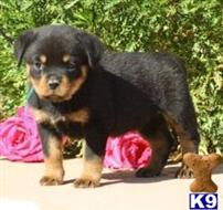 rottweiler puppy posted by AJaniceclintom