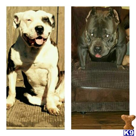 Akila American bullys Picture 1