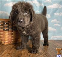 newfoundland puppy posted by Albertinesmith