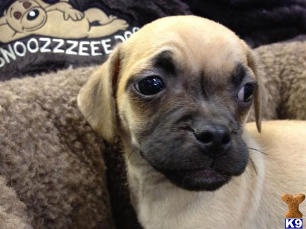 pug puppies for sale in az gorgeous designer breed puggle puppies 33819 5589