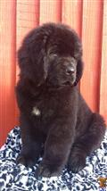 newfoundland puppy posted by Big_Diesel
