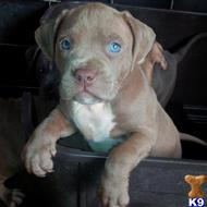 american staffordshire terrier puppy posted by CELEBRITYBULLZ
