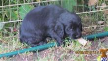 cocker spaniel puppy posted by Charles Hinde