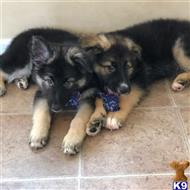 german shepherd puppy posted by ChelseaGarner