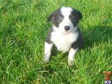 border collie puppy posted by Craileeau