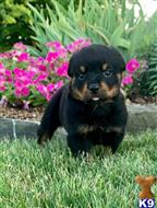 rottweiler puppy posted by Debrajones7