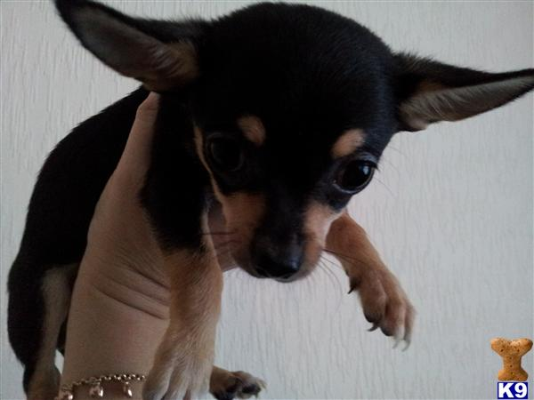 black and brown chihuahua puppies black and brown chihuahua girl puppy for sale 36321 6201