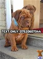 dogue de bordeaux puppy posted by DonaldKindred115