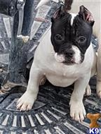 american staffordshire terrier puppy posted by ELITEBULLYSQUAD