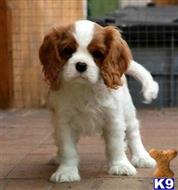 cavalier king charles spaniel puppy posted by EfrainBrown