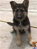 german shepherd puppy posted by Eveetherston92