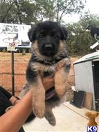 german shepherd puppy posted by EvieWoolley44