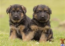 german shepherd puppy posted by EvieWoolley8