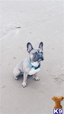 FrenchBulldogStud2017 Picture 2