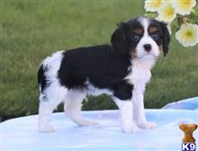cavalier king charles spaniel puppy posted by George1985
