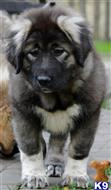 caucasian ovcharka puppy posted by HUNZA