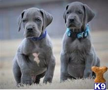 great dane puppy posted by Janiceclinto1