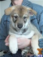saarloos wolfhound puppy posted by Jason Watts