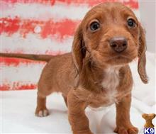 dachshund puppy posted by Jessica98