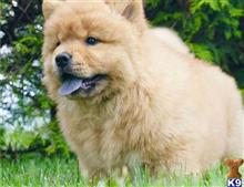 chow chow puppy posted by JohnCanderson