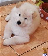 chow chow puppy posted by LawrenceCBoe