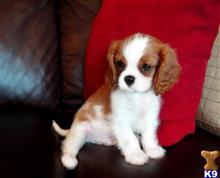 cavalier king charles spaniel puppy posted by LilianHugh15