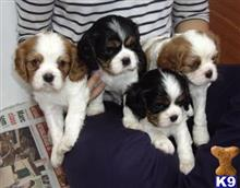 cavalier king charles spaniel puppy posted by LilianHugh30