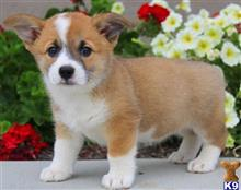pembroke welsh corgi puppy posted by Mack1988
