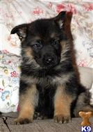 german shepherd puppy posted by MiaPayten20