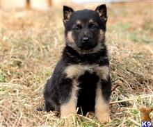 german shepherd puppy posted by MiaPayten32