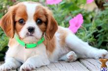 cavalier king charles spaniel puppy posted by MikaylaPhilipp0