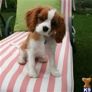 cavalier king charles spaniel puppy posted by MikaylaPhilipp018