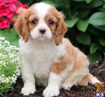 cavalier king charles spaniel puppy posted by MikaylaPhilipp09