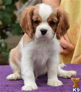 cavalier king charles spaniel puppy posted by MikaylaPhilipp28