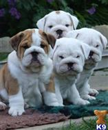 english bulldog puppy posted by Natasha G