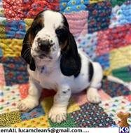 basset hound puppy posted by Rhyskhan